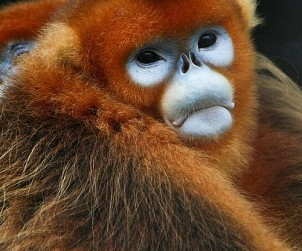 1024px-Golden_Snub-nosed_Monkeys